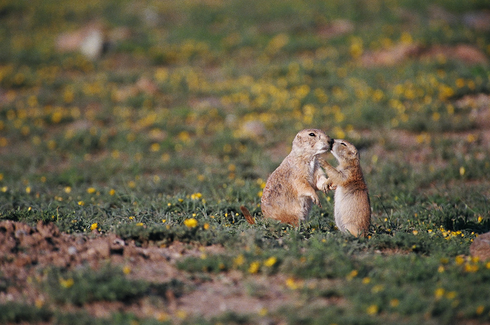 Kiss – The lifespan in the wild for black-tailed prairie dogs is up to 8 years for females, and around 5 years for males. However, around half of prairie dogs in the wild do not survive their first year of life due to high rates of predation, subliming to pesticides and herbicides or simply being targeted by gun enthusiasts for shooting sport. Prairie dogs in human care can live over 8 years. - Photography by Hawk Buckman