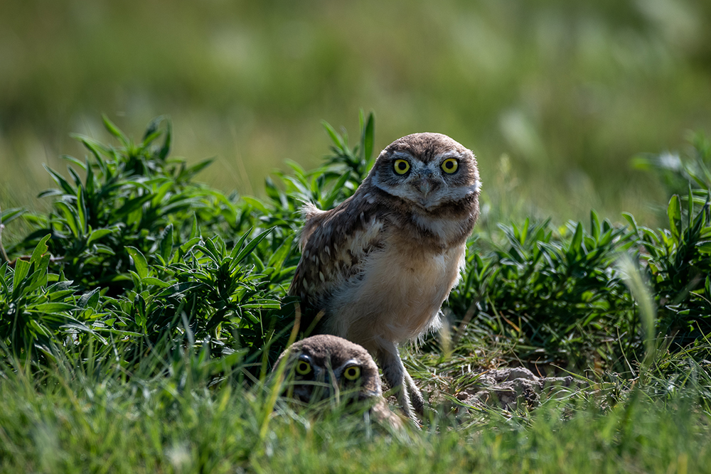 Burrowing owlets – Young Burrowing owl chicks stay in the burrow for about 2 weeks before they start stepping outside. Their parents bring them insects to eat and practice pouncing on. When they are about 6 weeks old, the little owlets begin to fly and hunt their own meals.